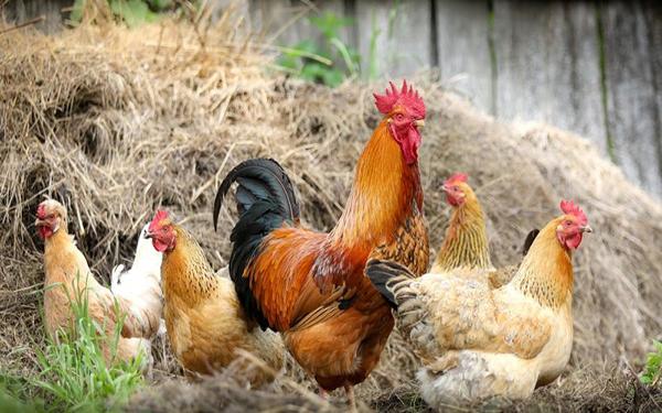tavuk yetiştirebilirsiniz